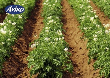 Aviko potatoes middle - Potatofield1